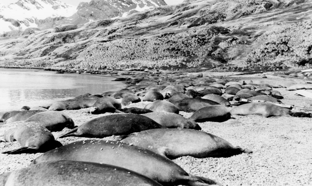 Bilde av Seler i strandkanten.
