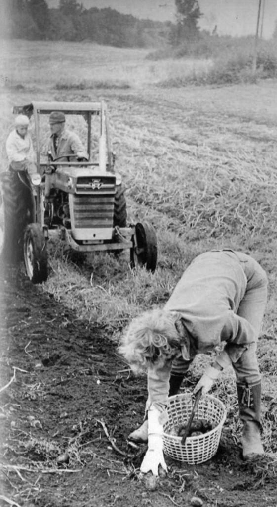 Bilde av Innhøsting poteter